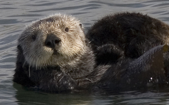 Sea otters can weigh 45 to 65 pounds, and can be injured or killed by a boat strike. (Wikimedia Commons)