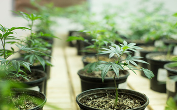 Nearly five years ago, North Dakota adopted a medical marijuana program. And this year, a push toward recreational marijuana is getting a lot of focus. (Adobe Stock)
