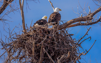 There are more than 70,000 nesting pairs of bald eagles in the United States, up from an all-time low of 417 in 1963. (Rex Wholster/Adobe Stock)