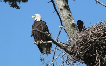 Bald eagles from Canada and the northwest Rockies migrate to Arizona in the winter months to build nests and mate. A 1999 survey found 74 nesting pairs in Arizona, up from only 11 in 1978. (Tagayuki Ogawa/flickr)