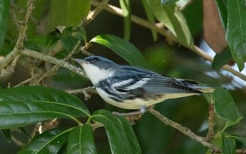 West Virginia's forests support more than 35% of the world's cerulean warblers, an endangered species. (Wikimedia Commons)<br /><br />
