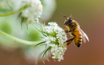 According to Environment America, 90% of wild flowering plants need the help of animal pollinators to survive, and declining bee populations are extremely dangerous for the ecosystem. (Adobe Stock)