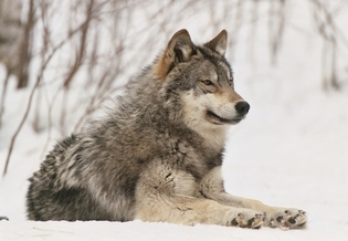 U.S. President Joe Biden has ordered a broad review of the Trump administration's wildlife policies, including the decision to strip Endangered Species Act protections from gray wolves. (wolf.org)