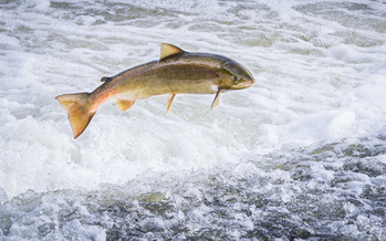 The last wild populations of Atlantic salmon in the United States are found in Maine's rivers, and groups say four hydroelectric dams on the Kennebec River need to be removed to help protect them. (Kevin/Adobe Stock)
