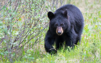 Black bears in Missouri typically are seen south of Interstate 44, although the population is growing. (Jillian/Adobe Stock)