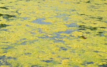 A new study says harmful algal blooms are another threat to freshwater lakes, as they see declining oxygen levels brought on by rising temperatures. (Adobe Stock)