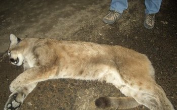 Collisions between cars and mountain lions are a particular concern on highways along the mountain ranges of Southern California. (Mia and Steve Metsdagh/Wikimedia Commons)