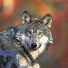 Gray Wolf PHOTO CREDIT: Gary Kramer, USFWS