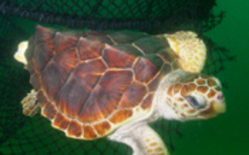 Loggerhead turtle swimming out of a TED, Photo by NOAA