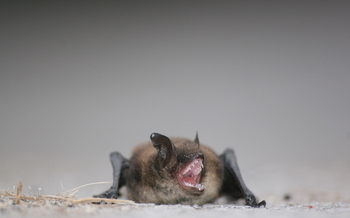 PHOTO: Bats get a bad rap, but farmers need them.