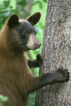 PHOTO: Young black bear. Photo credit: U.S. Fish and Wildlife Service