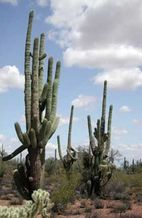 PHOTO: Sonoran desert.