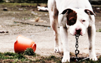 Dog chained. Photo credit: Humane Society of the United States