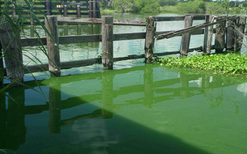 The slimed Caloosahatchee River from the Alva Bridge, June 13 2011, Sanibel-Captiva Conservation Foundation Photo
