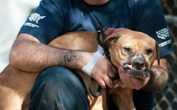 The Humane Society of the United States� Animal Rescue Team assisted the Jacksonville Sheriff�s Office in conducting an investigation of a suspected dog-fighting operation in Jacksonville, Florida, resulting in an arrest of one individual and the seizure of 17 dogs. (Kathy Milani/The HSUS)