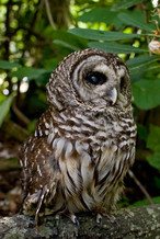 PHOTO: Barred Owl housed at the Blue Ridge Wildlife Institute, Picture provided by Blue Ridge Wildlife Institute
