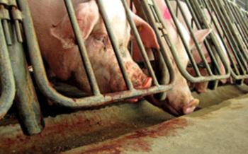 Pigs * Gestation Crates