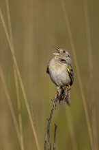 PHOTO: Florida Grasshopper Sparrow, Courtesy Christina Evans