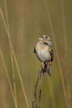 PHOTO: Florida Grasshopper Sparrow, Courtesy Christina Evans