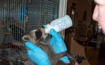 PHOTO: Baby raccoon receives attention by Genesis staff. Courtesy of Genesis Wildlife Sanctuary