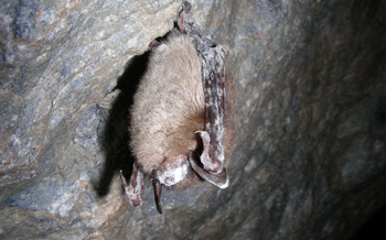 PHOTO: Little brown bat with white-nose syndrome. Photo credit: Marvin Moriarty/USFWS