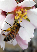 PHOTO: Honeybee on flower. Photo credit: Jeff Pettis, U.S. Agricultural Research Service.