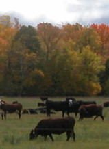 PHOTO: Cows on Hidden-Vue Farm (used with permission)