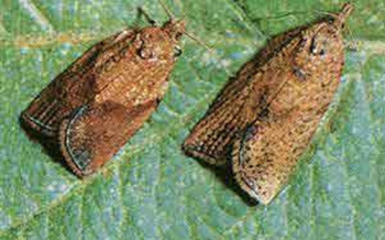 PHOTO: Two Light Brown Apple Moths. Photo courtesy County of San Luis Obispo, Calif.