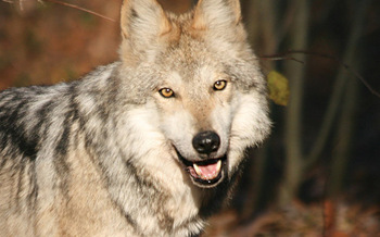 PHOTO: Mexican Gray Wolf. Courtesy: Wolf Conservation Center.