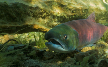 PHOTO: Sockeye salmon in Redfish Lake. Photo credit: Neil Ever Osborne/Save Our Wild Salmon