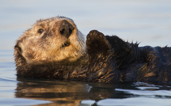 PHOTO: Sea Otter. Photo courtesy of Cindy Tucey.