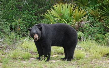 Photo: Black bear in Florida wild, Courtesy: Bruce Britt