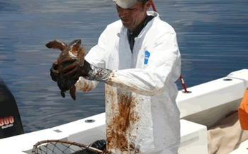 PHOTO: Oiled turtle is recovered from Gulf of Mexico by NOAA Scientist following the 2010 spill. Courtesy of NOAA.