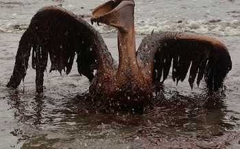 PHOTO: Pelican found following the oil spill in Florida. Courtesy of the NWF