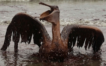 PHOTO: Pelican found after the oil spill in Florida. Courtesy of the National Wildlife Federation.