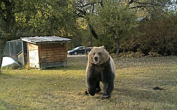 PHOTO: Adult grizzly bear caught on a remote wildlife camera, headed for a backyard apple tree in Western Montana. Courtesy of Bob Muth.