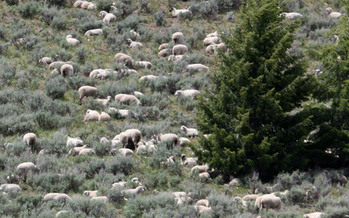PHOTO: Sheep dot a hillside in the Sawtooth National Forest, part of the project area. Photo credit: Deborah C. Smith.