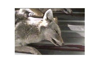 PHOTO: Coyote killed in former coyote-killing contest in Reserve, NM. Photo credit: Ben Mater; Earthwaves Media.
