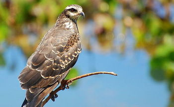 PHOTO: A report released this week by the Endangered Special Coalition lists the Florida Snail Kite as one of the top ten species endangered because of freshwater mismanagement.Image credit: Dario Sanches