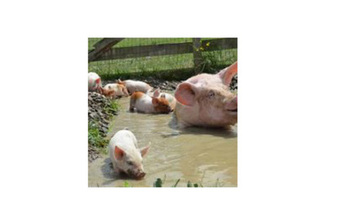 A picture of Julia and her piglets, now at the Farm Sanctuary shelter in New York.<br />Photo Credit: Mercy For Animals<br />