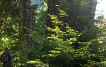 PHOTO: Some old-growth trees in Oregon's Crabtree Valley have names. This giant is known as