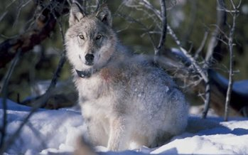PHOTO: The killing of a popular Yellowstone National park wolf in Wyoming is garnering attention around the country. Photo credit: William Campbell/USFWS.