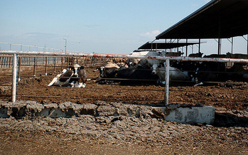 PHOTO: Even cows in the San Joaquin Valley could benefit from safer drinking water, under new rules to reduce the amounts of fertilizer and other chemicals in the water supply.