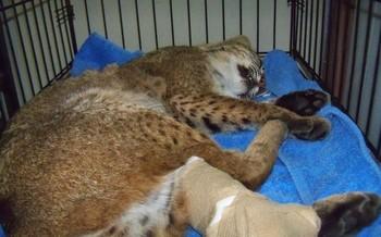 Photo: Bobcat rescued by Genesis workers in December 2012. Courtesy: Genesis Wildlife Sanctuary