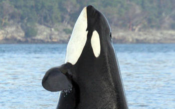 PHOTO: This Southern Resident orca is