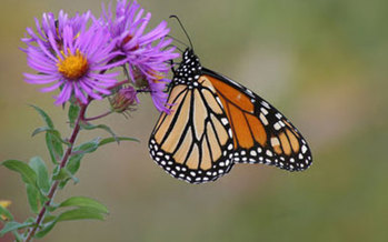 PHOTO: Many butterflies in Maryland and throughout the Northeast are shifting their ranges north as the climate changes.