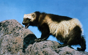 PHOTO: Wolverines are proposed as