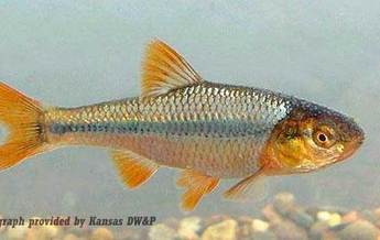 PHOTO: The Topeka Shiner is already on the list of endangered species in Iowa and climate change has the potential to make things worse. Photo provided by Kansas DW&P.