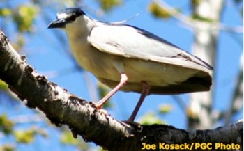 PHOTO: The Black Crowned Night Heron is already endangered in Pennsylvania and climate change could make things even worse. Photo courtesy of Joe Kosack/PGC