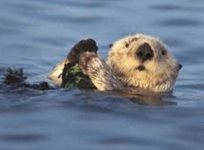 PHOTO: Taxpayers can check off Line 410 on their tax forms to donate to the California Sea Otter Fund. Photo Credit: Sharon Blaziek.